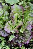 Salatkopfsalatblätter auf Bett Lizenzfreie Stockbilder