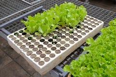 Salatsämling Lizenzfreie Stockbilder