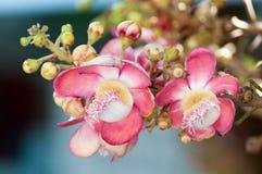 Salavan kwiat Obrazy Stock
