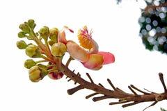 Salavan kwitnie zbliżenie Fotografia Stock