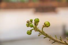 Salavan trädboll, blommaboll Fotografering för Bildbyråer
