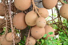 Salavan TREE Fruit (Shorea robusta Roxb) Royalty Free Stock Photos