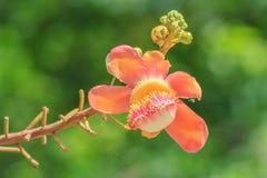 Salavanbloemen Stock Foto's