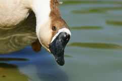 Salavge goose Stock Photo