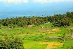 Salayo verde del campo del arroz imagenes de archivo