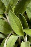 Salbei 001 Stockfoto
