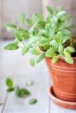 Salbei in einem keramischen Blumentopf Stockfotografie