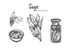 salbei Gezeichnete Sammlung des Vektors Hand Lokalisierte Gegenstände auf Weiß stock abbildung