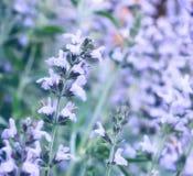 Salbei oder salvia Blumenblüte lizenzfreie stockfotos
