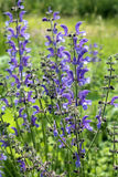 Salbei (Salvia-pratensis) Stockfotos