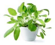 Salbei u. x28; Salvia-officinalis& x29; lokalisiert auf weißem Hintergrund Stockfotografie