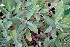 Salbeipflanzenblätter Lizenzfreies Stockfoto