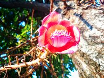 Salblomma i den gynnsamma temble blomman Royaltyfri Foto