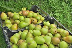 Sale boxes with pears Stock Photo