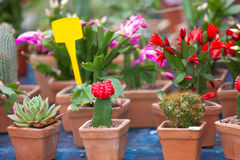 Sale of cactuses Stock Photography