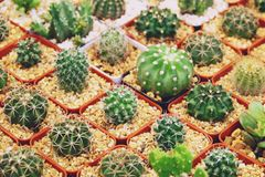 Sale of cactuses in the Flower market royalty free stock photography