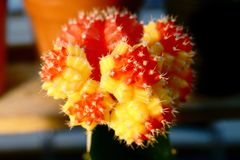 Sale of cactuses in the Flower market.  royalty free stock photography