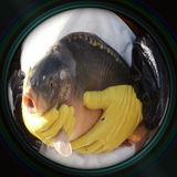 Sale of Christmas carps in objective lens Stock Photography