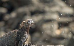 Sale di starnuto di Galapagos Marine Iguana dalle ghiandole nasali fotografia stock libera da diritti