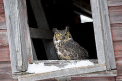 For sale. A great horned owl sitting in window of abandoned barn Stock Photography
