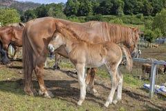 Sale of horses. Sale of horses in livestock fair Stock Photo