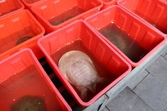 Sale of live turtle for turtle soup Stock Images
