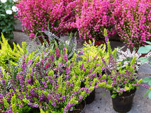 Sale Of Small Bushes Of Flowering Heather Stock Image