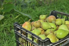 Sale pears in basket on market Royalty Free Stock Images