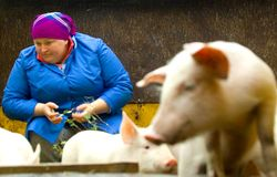 Sale of pigs in Belarus Stock Photos