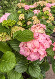 Sale of pink hydrangeas Stock Images
