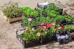 Sale of seedlings of ornamental flowers Stock Photo