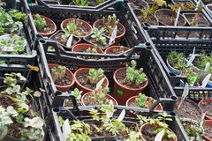 Sale of sprouts in pots Royalty Free Stock Image