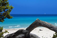 Saleccia Beach, Corsica. Mediterranean color at Saleccia Beach with fallen tree trunks and distant sailboat, Corsica, France Stock Image