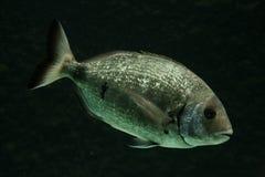 Salema钉头鱼鱼 库存图片