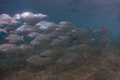 Salema钉头鱼, sarpa樽海鞘 免版税库存图片