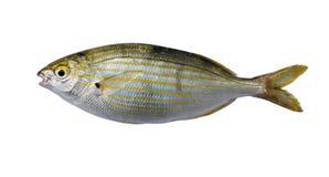 Salema钉头鱼- sarpa鱼 库存图片