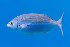 Salema -鱼- Saupe -萨帕樽海鞘 库存图片