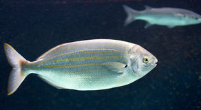 Salema fish 1 Royalty Free Stock Photography