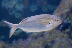 Salema-Goldbrassenfische Sarpa-Salpa Stockfoto
