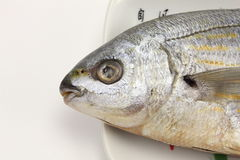 Salema porgy fish head Royalty Free Stock Photography