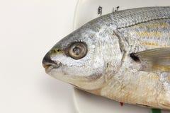 Salema porgy fish head Royalty Free Stock Photography