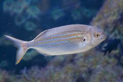 Salema porgy fish Sarpa salpa Stock Photo