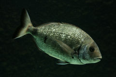 Salema Porgy Fish Stock Images