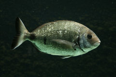 Salema porgy fish Royalty Free Stock Image