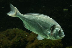 Salema porgy fish Stock Photos