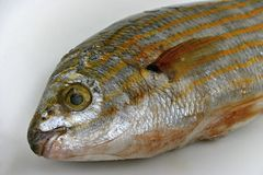 Salema porgy fish Royalty Free Stock Images