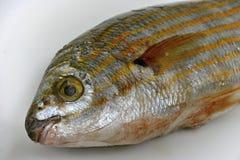 Salema porgy fish Royalty Free Stock Images