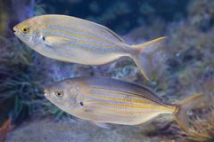 Salema porgy fish Sarpa salpa Stock Photography