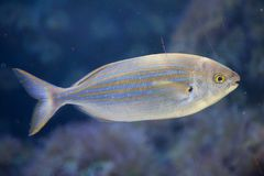 Salema porgy fish Sarpa salpa Royalty Free Stock Photography