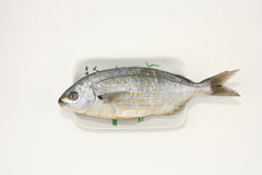 Salema porgy fish Stock Images